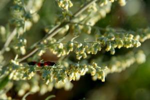 Mugwort in Bloom