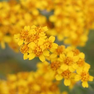 Golden-Yarrow