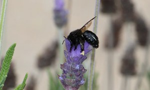 Bees_purple