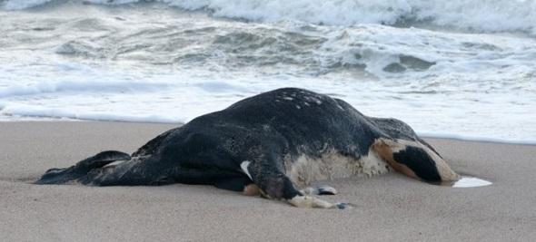 Vacas-aparecem-mortas-em-praia-dos-sul-da-Suécia