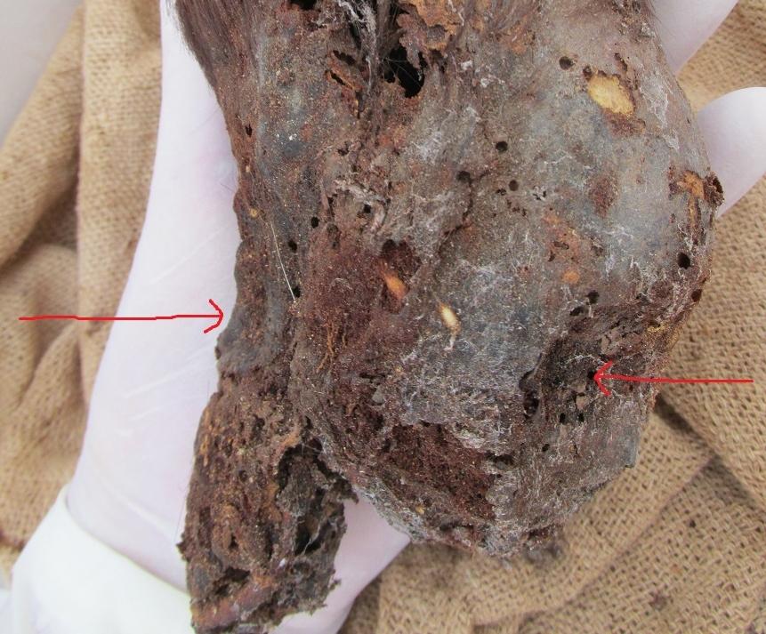 Este é o crânio alongado mais impressionante já encontrado no Peru 1