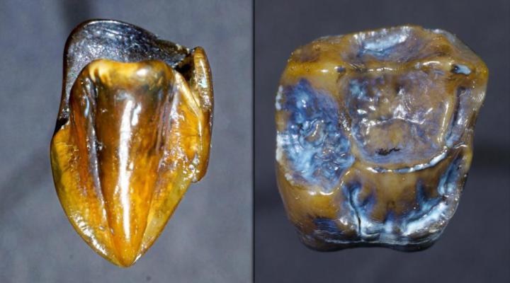 dente de hominídeo de 9,7 milhões de anos