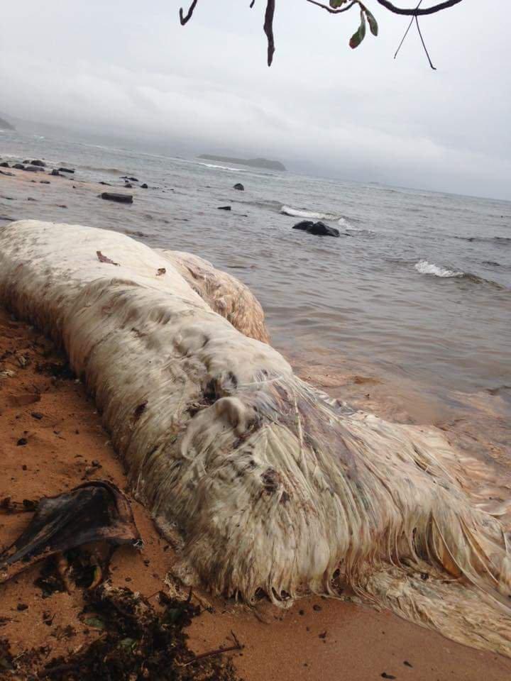 Enorme criatura peluda aparece em praia das Filipinas 2