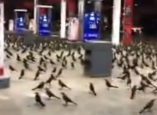 Milhares de pássaros invadem cidades do Texas