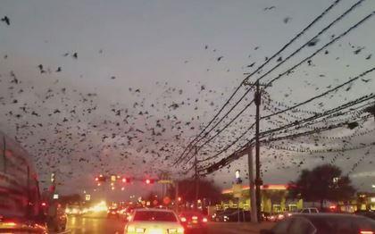 Milhares de pássaros invadem cidades do Texas, EUA 2