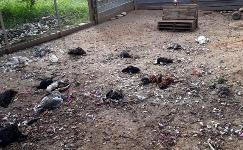 Chupa-aves? Sessenta aves domésticas foram mortas misteriosamente em Curitiba 1
