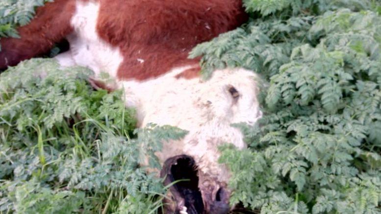 mutilações misteriosas de gado ocorrem na Argentina