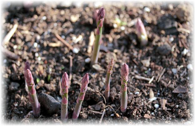 Правильное выращивание спаржи и уход за ней в открытом грунте. Способы посадки спаржи: как вырастить деликатес без хлопот