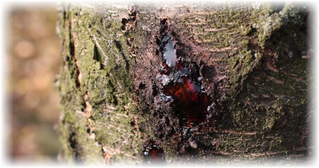 Камедетечение на сливе. Смола на косточковых деревьях – что делать