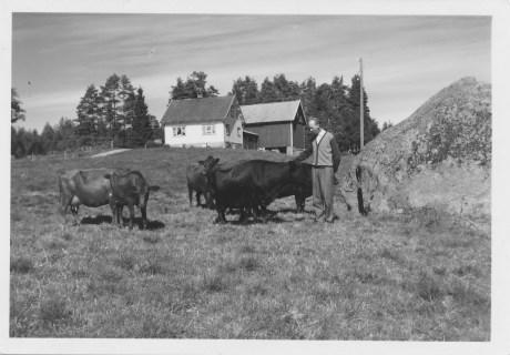 Karl Tommy Fjellestad steller med buskapen foran gårdshusene på Fjellestad