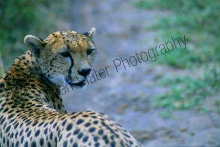 cheetah_looking_back.jpg
