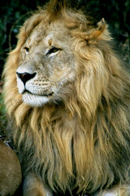 lion_maleprofile.jpg