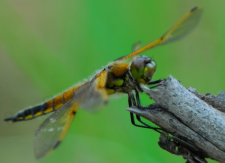 four-spotted-skimmer-dragonfly.jpg