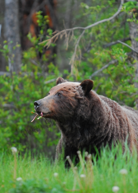 grizzly-mom-profile.jpg