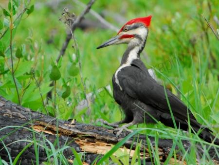 pileated-woodpecker.jpg
