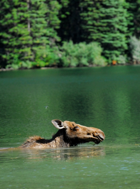 moose-swimming-and-dragonfly.jpg
