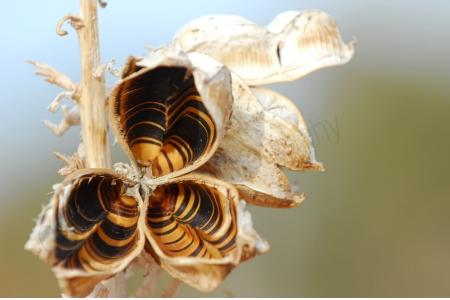 yucca-seed-pod