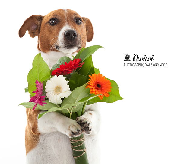 Jack Russell Boris holding flowers
