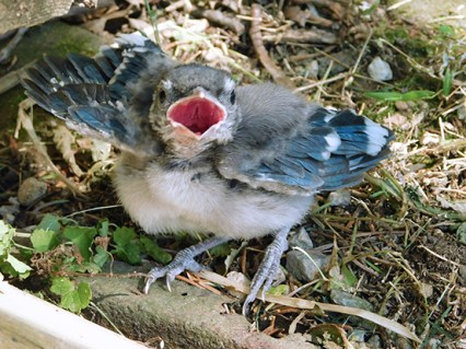 Little Jay, a Blue Jay fledgling