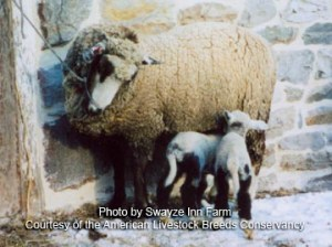 Romeldale/CVM Sheep Mama and twins