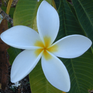 Jasmine Flower for Dulcimer Orchestra Jasmine Flower