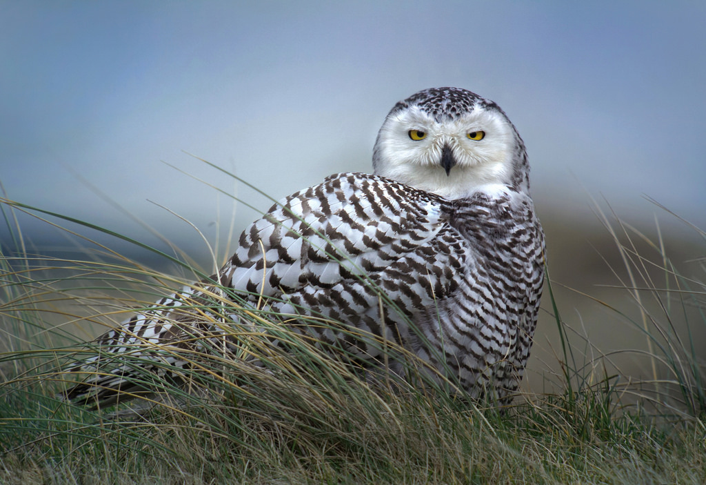 Beautiful Snowy Owl in a Field