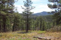 Pagosa Pine Trees