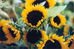 sunflower blog pic