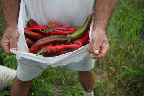 pepper harvest in the shirt