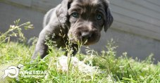 Longhair Web Pup Photos-8