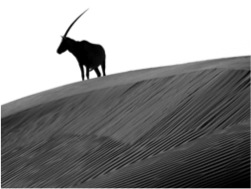 Arabian oryx. Getty images. Photo by Joe & Clair Carnegie/Libyan Soup.