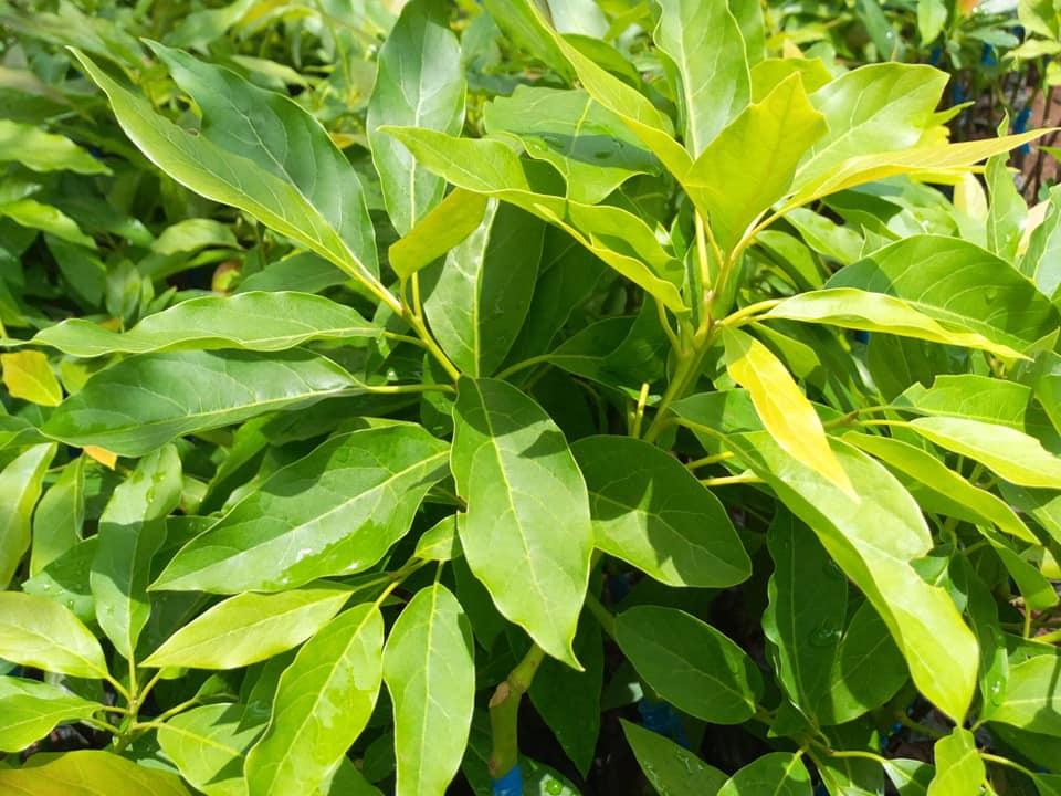 hass avocado seedlings