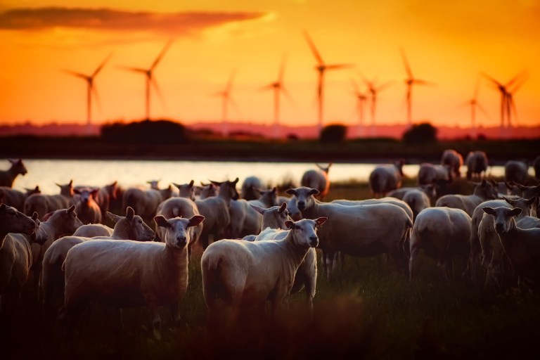 Sheep and wind farm