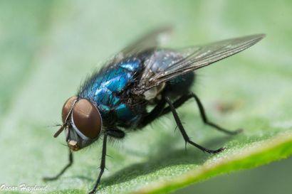 Macro of a fly taken in Abingdon. (a6000 + 90mm Macro G)