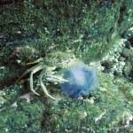 crab_feasting_on_jellyfish.jpg