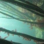 kelp_forest_in_the_spring.jpg