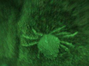 Spider crab (Porthkerris/Ric Goodman)