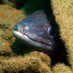 Conger eel (Plymouth/Nart Daghestani)