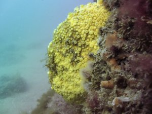 Yellow boring sponge (Chesil Cove, Dorset/Adam Hallet)