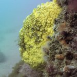 Yellow boring sponge (Chesil Cove, Dorset/Adam Hallet)