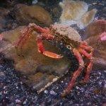 Spider crab (Porthkerris/Caio Goodman)