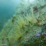Hydroids & jewel anemones (Pen Wyn, Porthkerris/Farah Colchester)