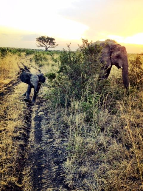 So far the Kruger's elephant poachers have eluded capture. © Yolandi Groenewald