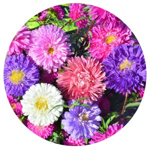 Wholesale Top quality Garden flower Callistephus chinensis China aster Seeds