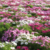 Bulk quantity Top quality mixed colors Cosmos bipinnata flower seeds