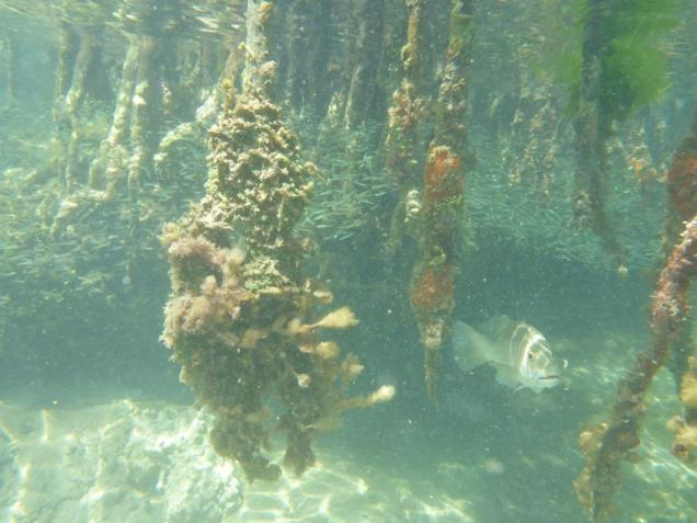 10 Les racines de la mangrove de Jack's Cay