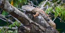 Iguane mâle terrestre du Belize
