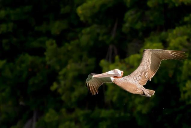 17 pelican-a-rabusqui