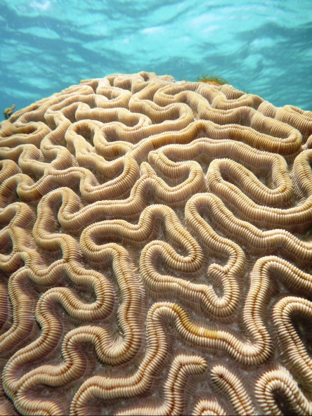 26-corail-cerveau-de-neptune.jpg
