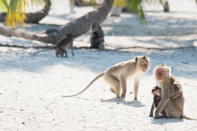 36-singes-de-campos